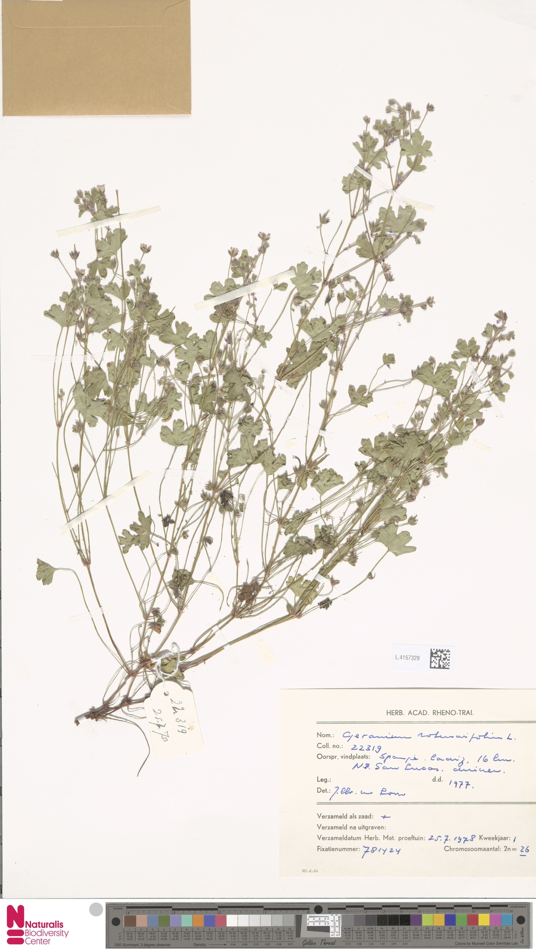 L.4157329 | Geranium rotundifolium L.