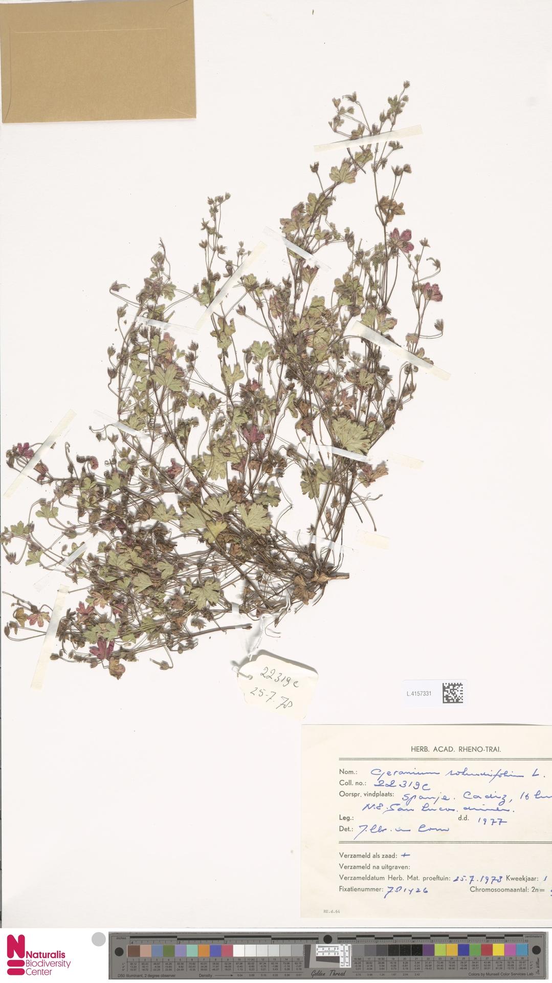 L.4157331 | Geranium rotundifolium L.