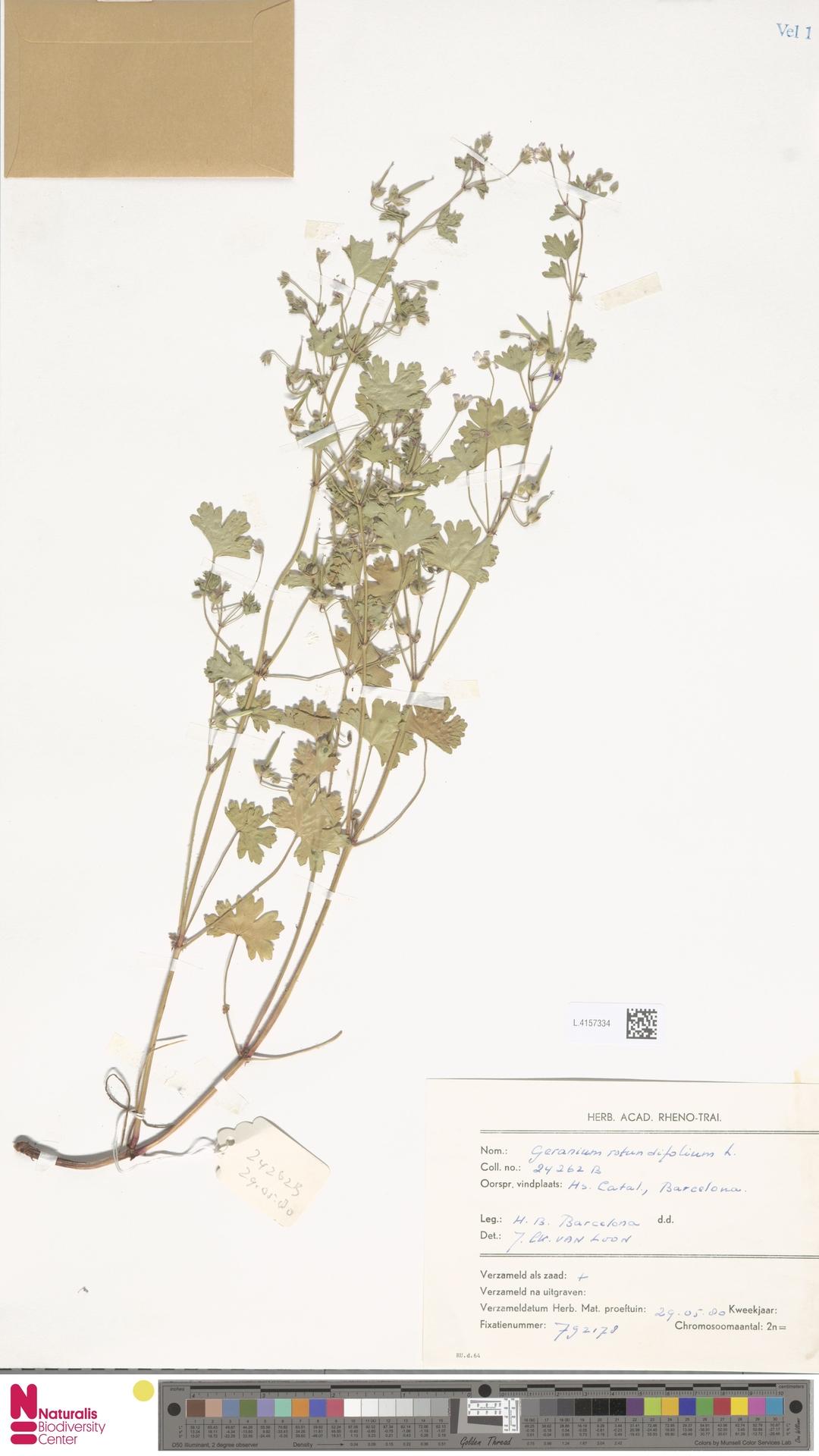 L.4157334 | Geranium rotundifolium L.