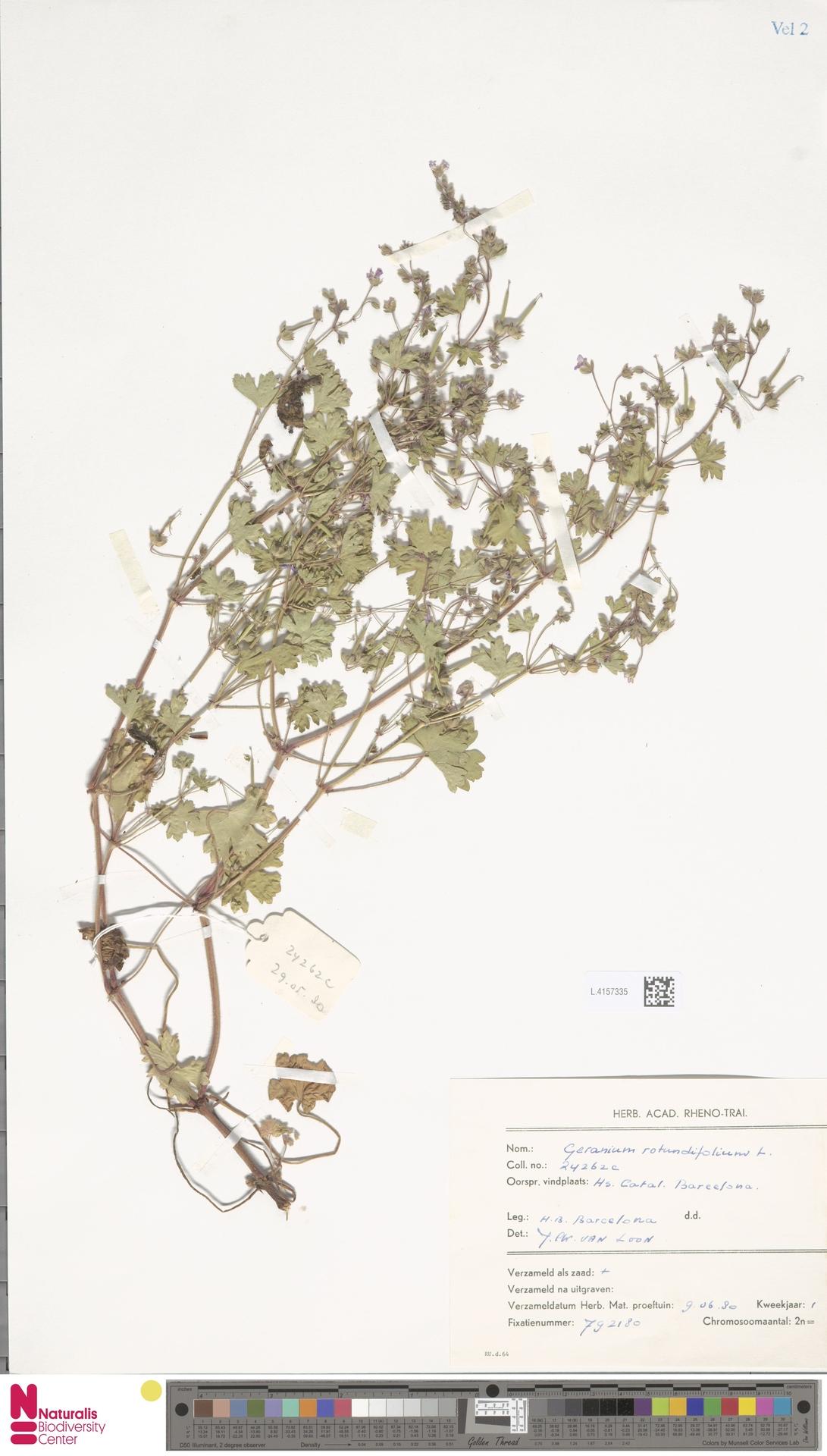 L.4157335 | Geranium rotundifolium L.