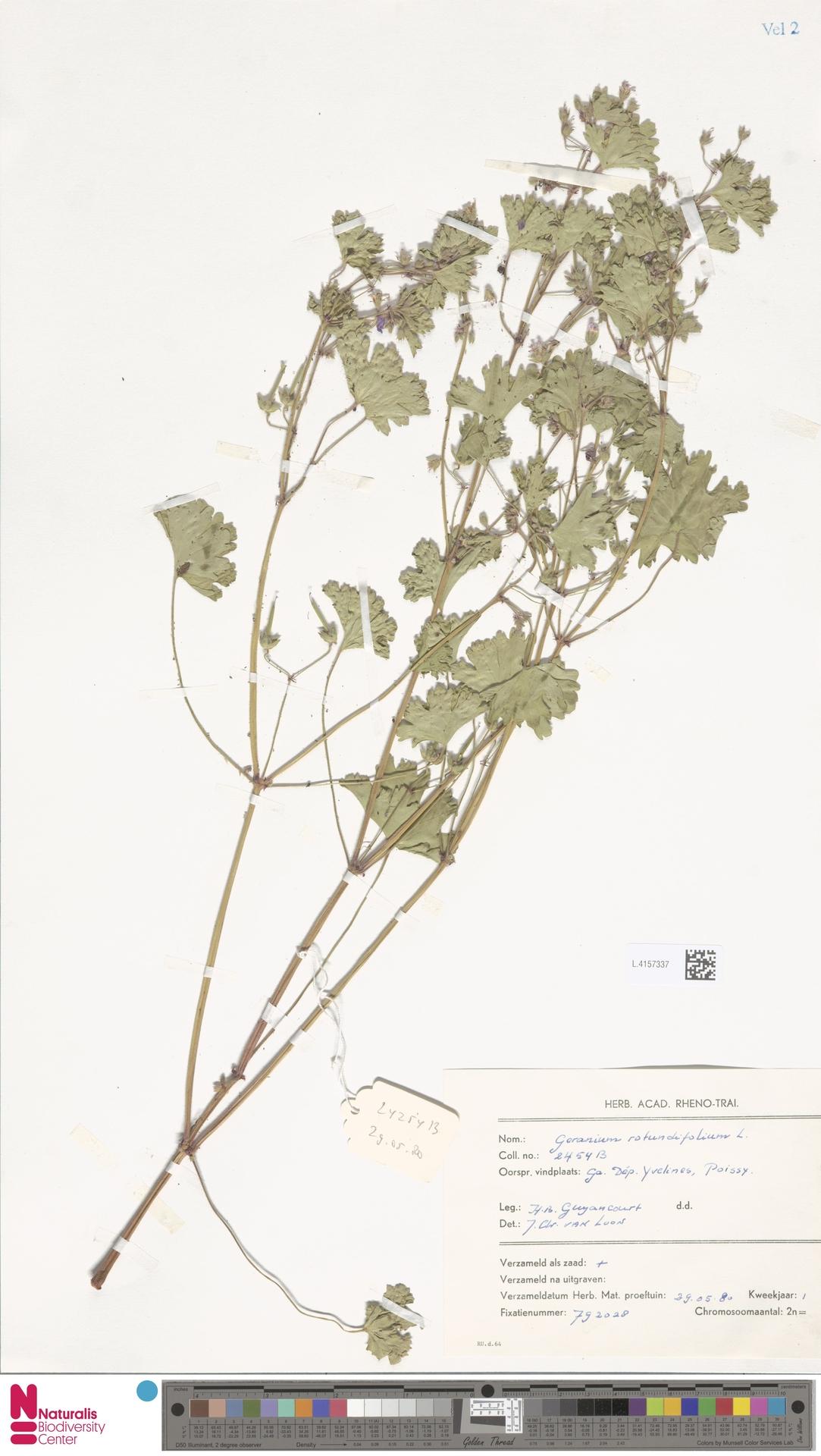 L.4157337 | Geranium rotundifolium L.
