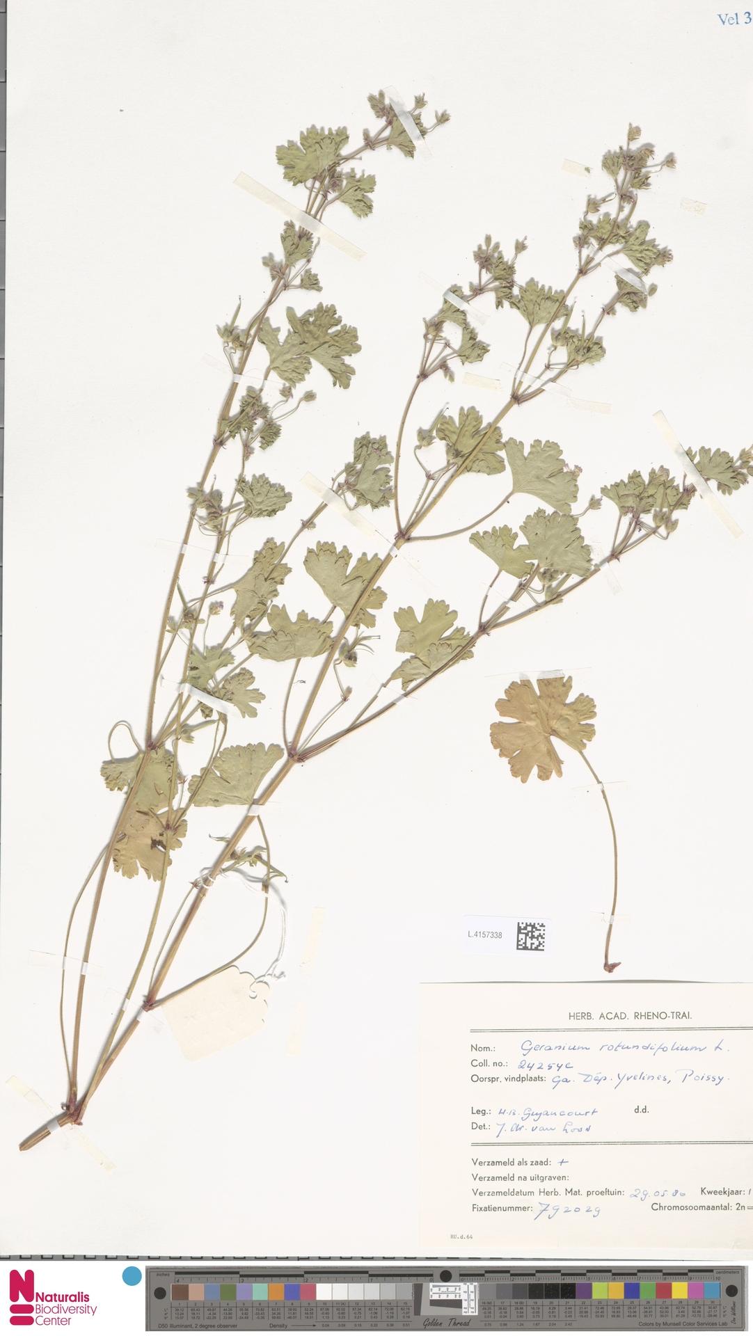 L.4157338 | Geranium rotundifolium L.