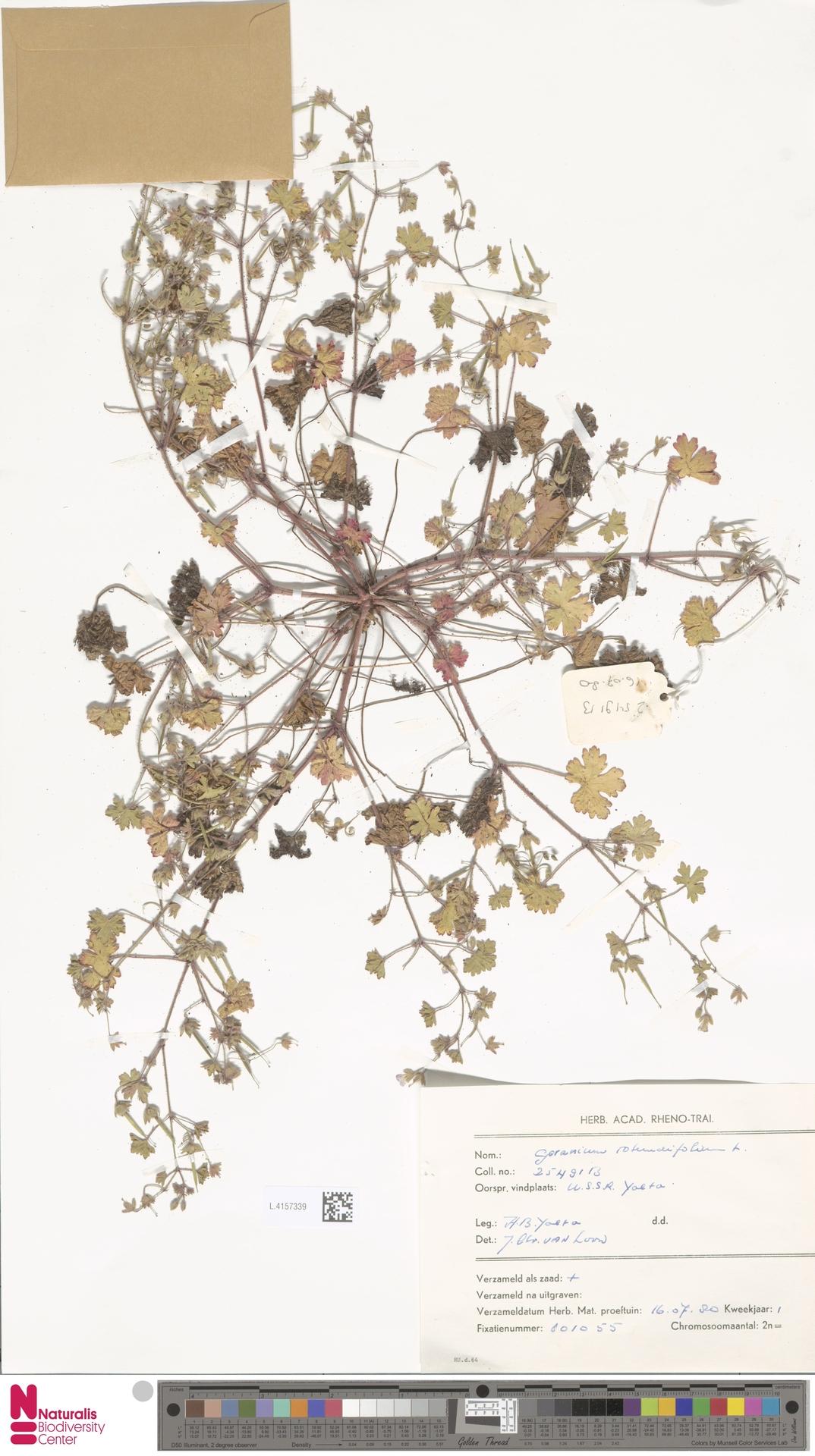 L.4157339 | Geranium rotundifolium L.