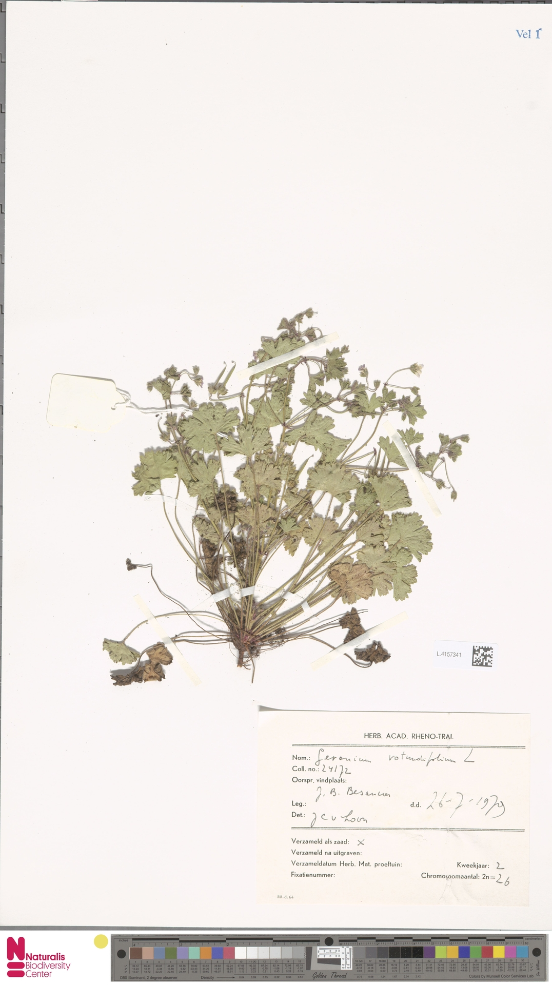 L.4157341 | Geranium rotundifolium L.