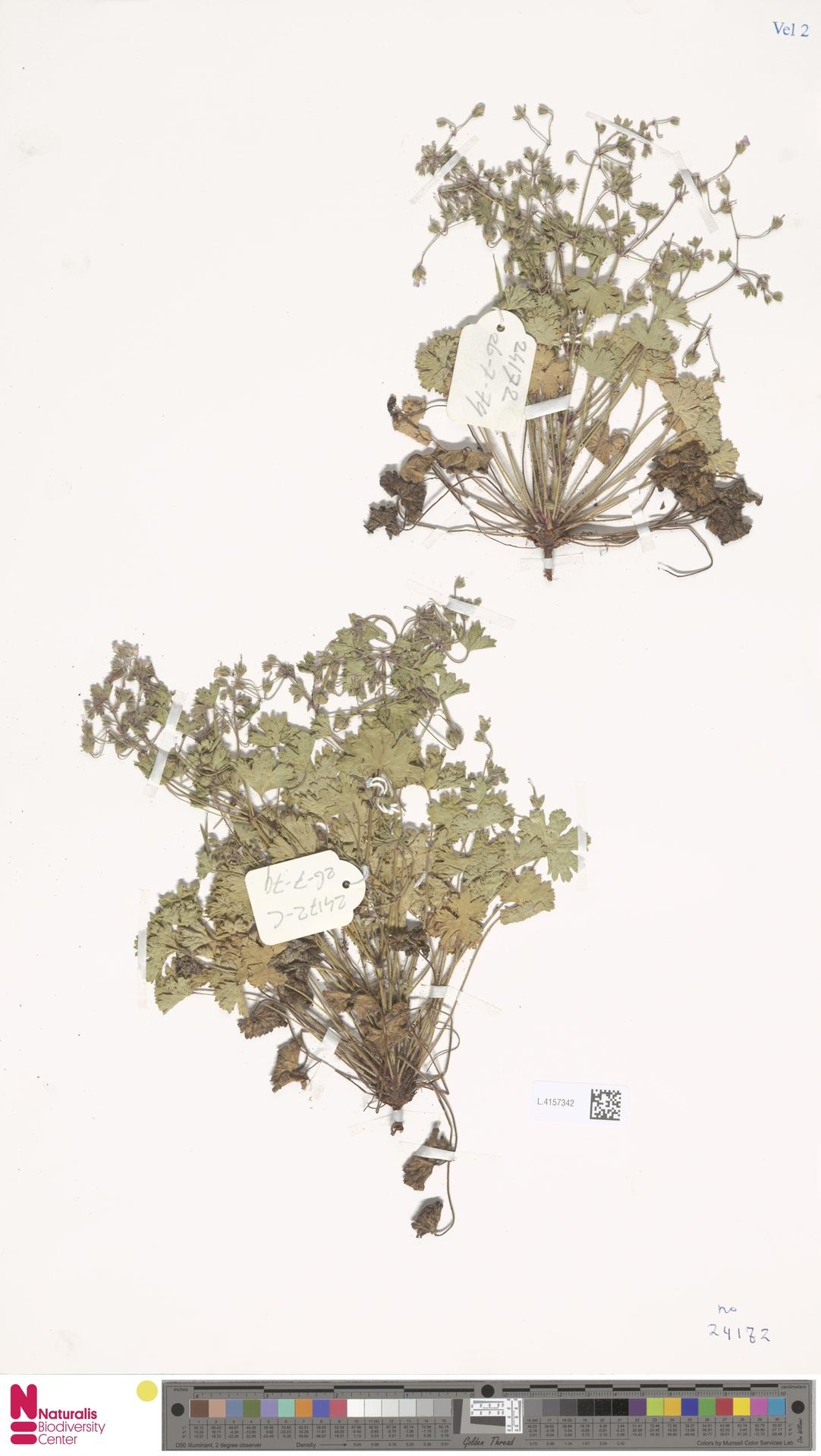 L.4157342 | Geranium rotundifolium L.