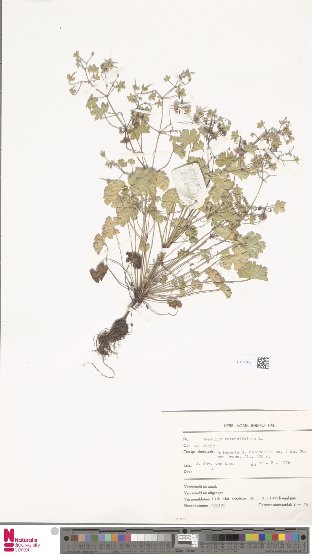L.4157343 | Geranium rotundifolium L.
