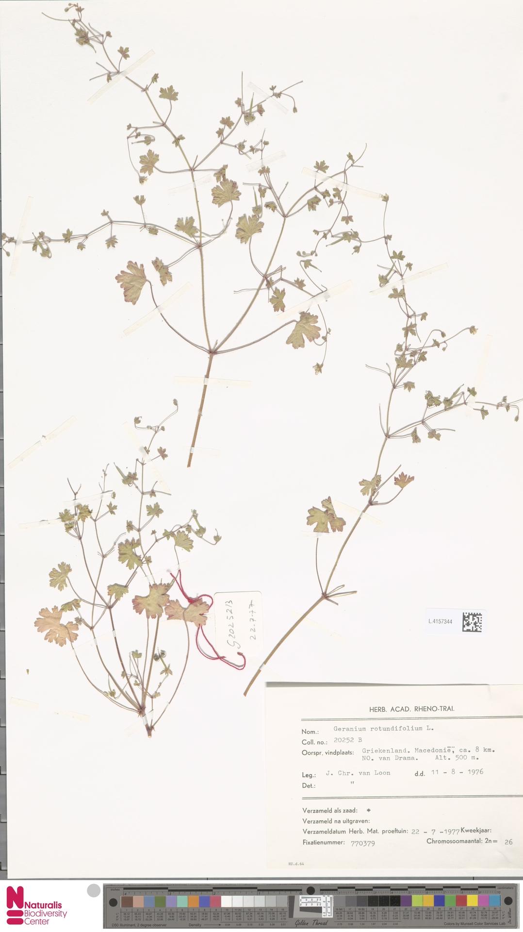 L.4157344   Geranium rotundifolium L.