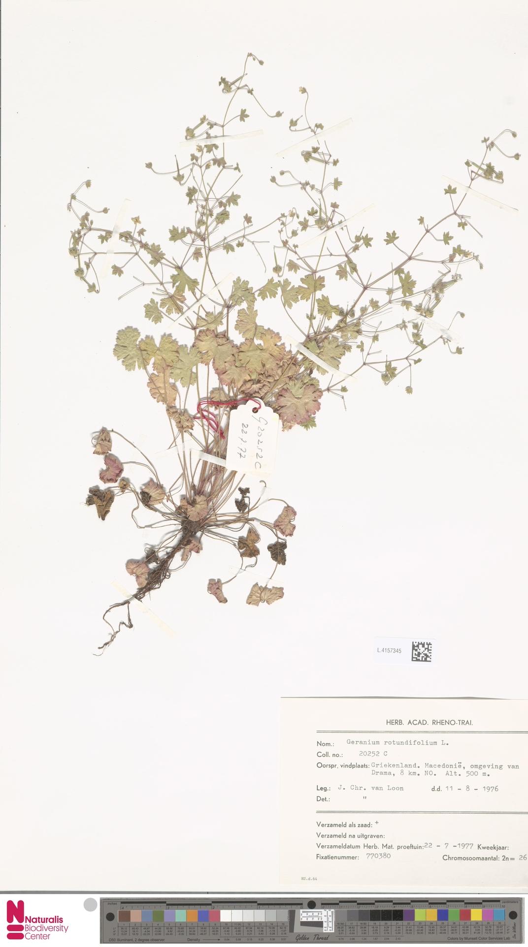 L.4157345 | Geranium rotundifolium L.