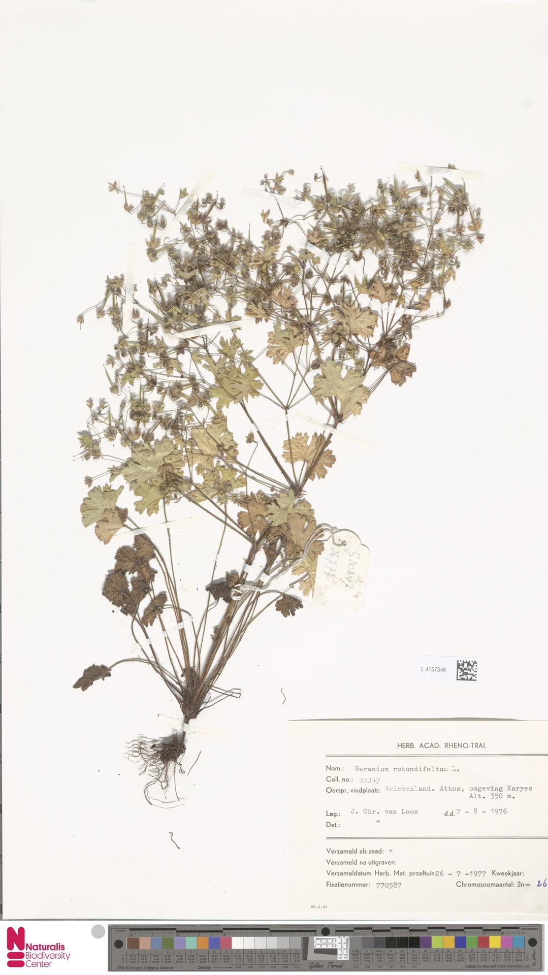 L.4157346 | Geranium rotundifolium L.