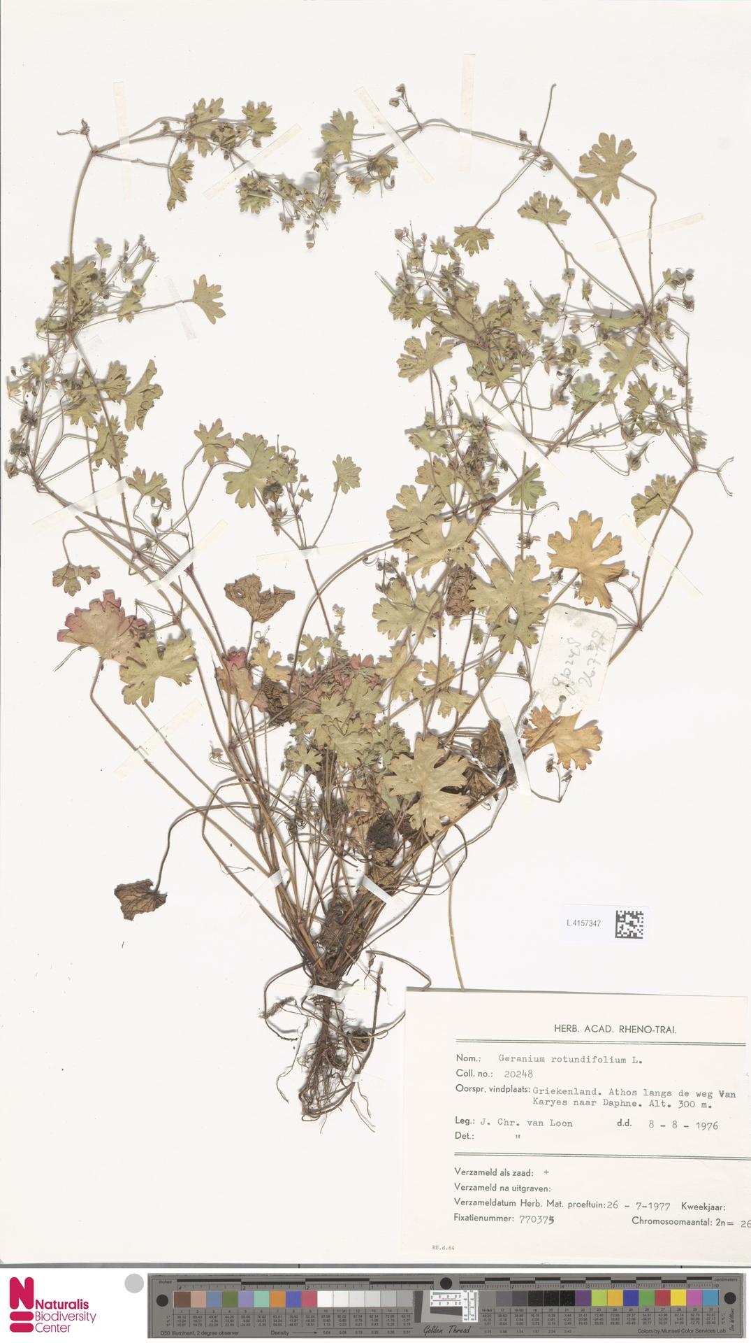 L.4157347 | Geranium rotundifolium L.