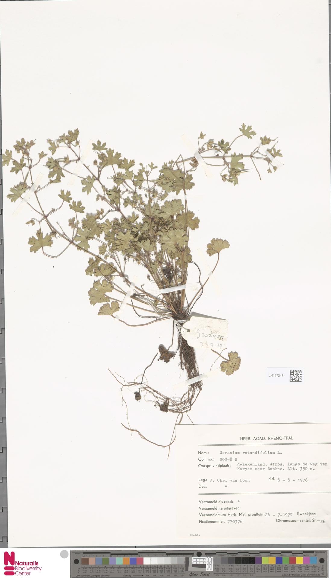 L.4157348 | Geranium rotundifolium L.