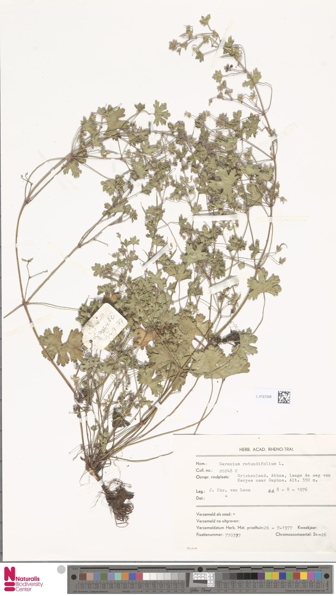 L.4157349 | Geranium rotundifolium L.