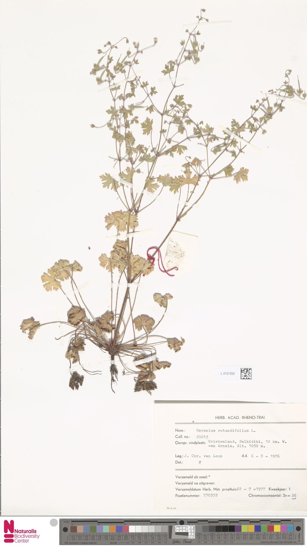 L.4157350 | Geranium rotundifolium L.