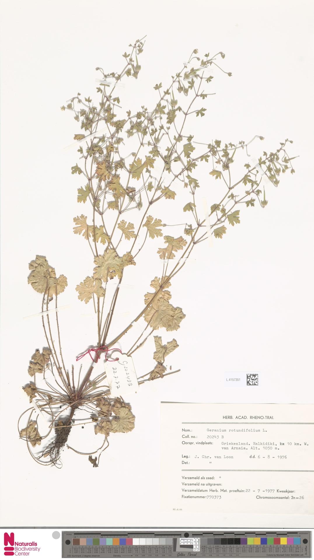 L.4157351 | Geranium rotundifolium L.