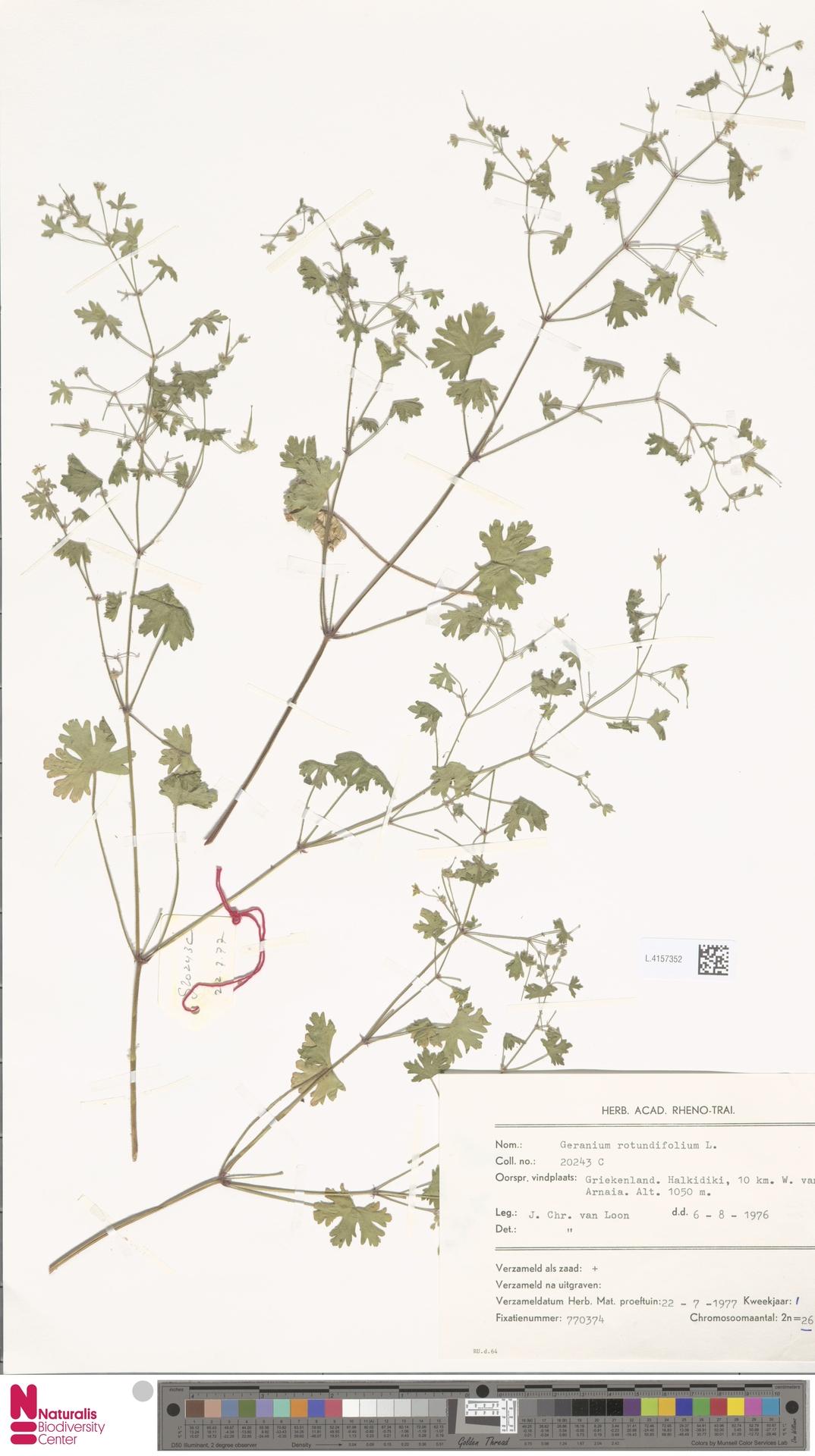 L.4157352 | Geranium rotundifolium L.