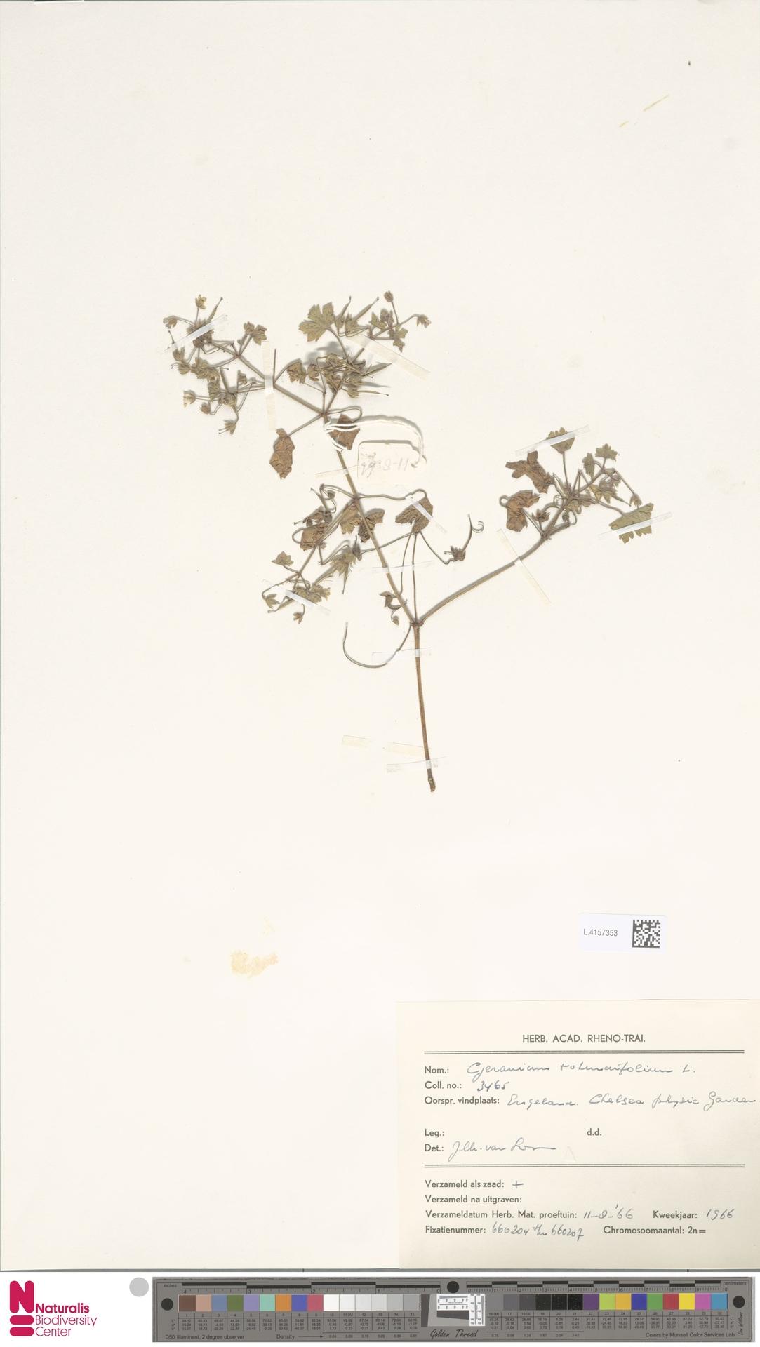 L.4157353   Geranium rotundifolium L.