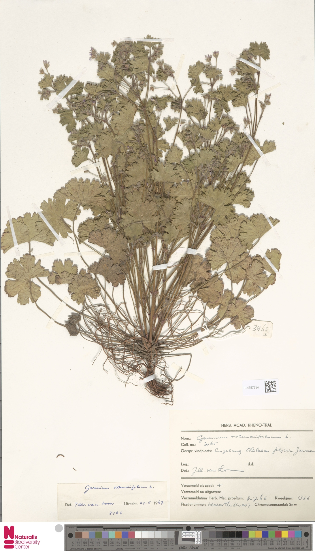 L.4157354 | Geranium rotundifolium L.