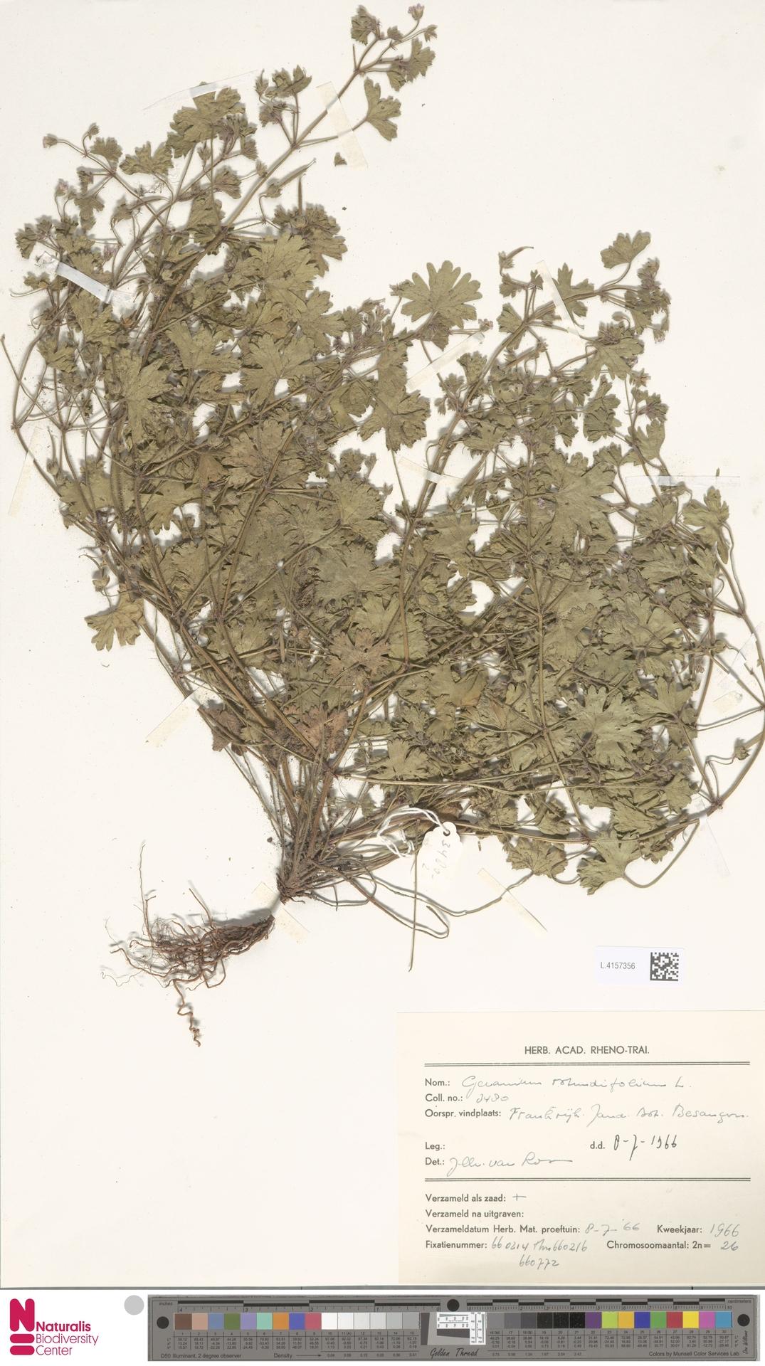 L.4157356 | Geranium rotundifolium L.