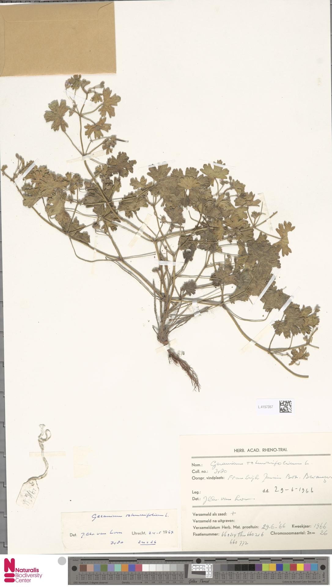 L.4157357 | Geranium rotundifolium L.