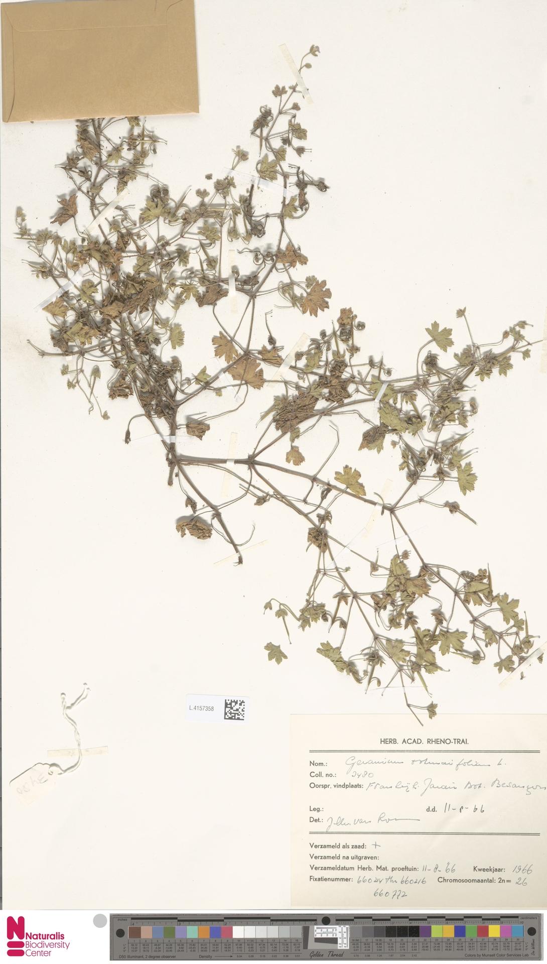 L.4157358 | Geranium rotundifolium L.