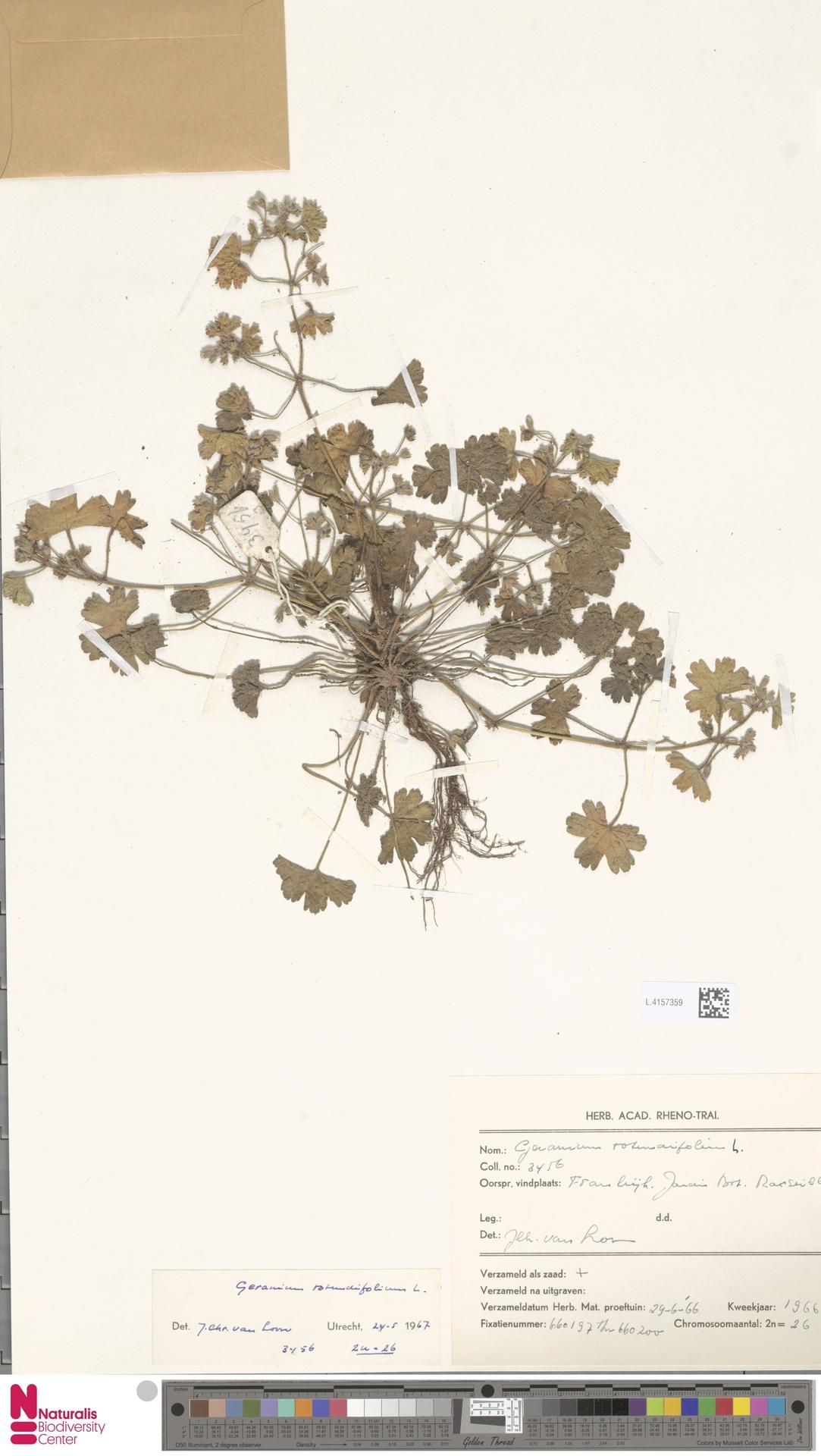 L.4157359 | Geranium rotundifolium L.
