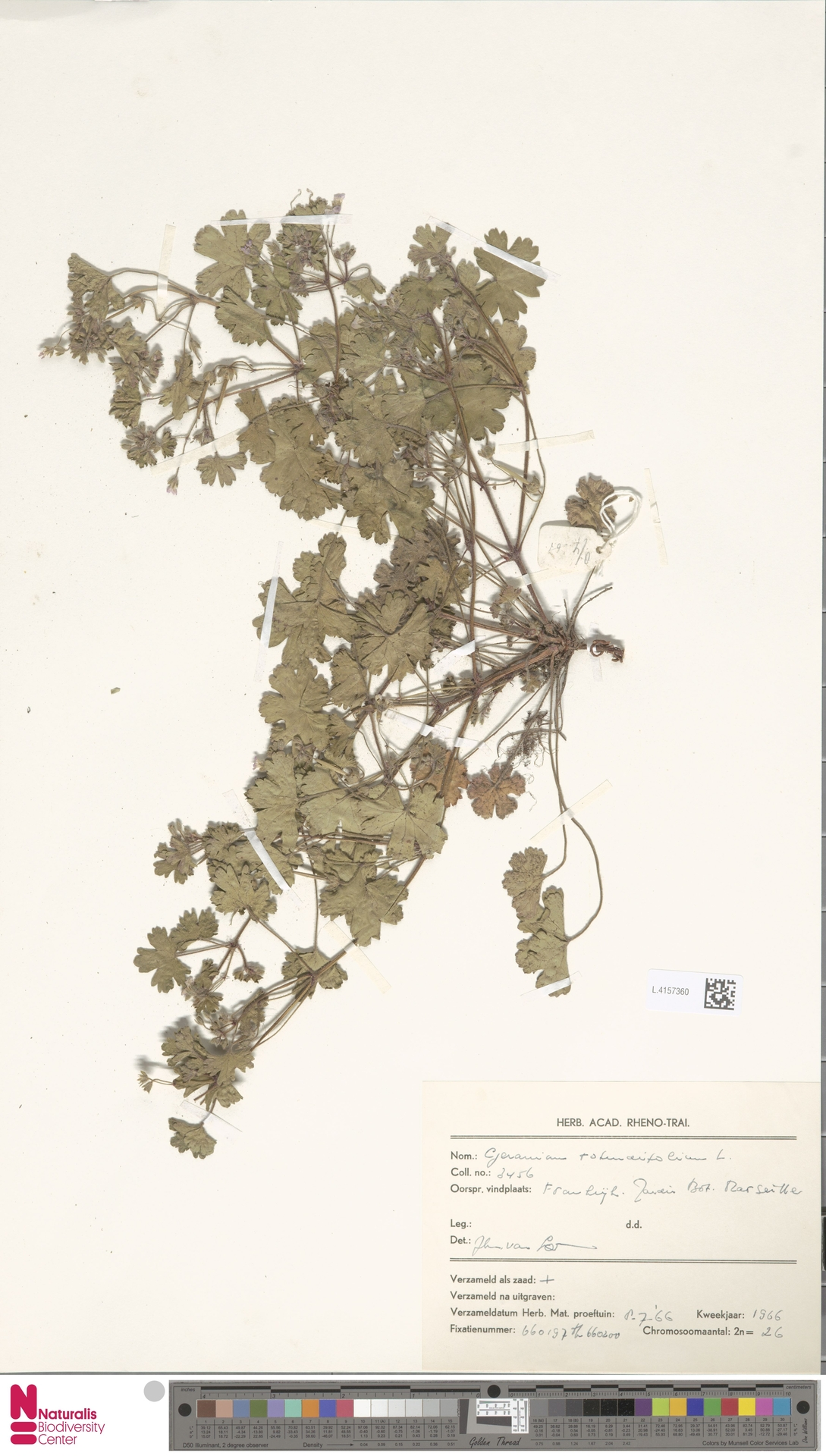 L.4157360 | Geranium rotundifolium L.
