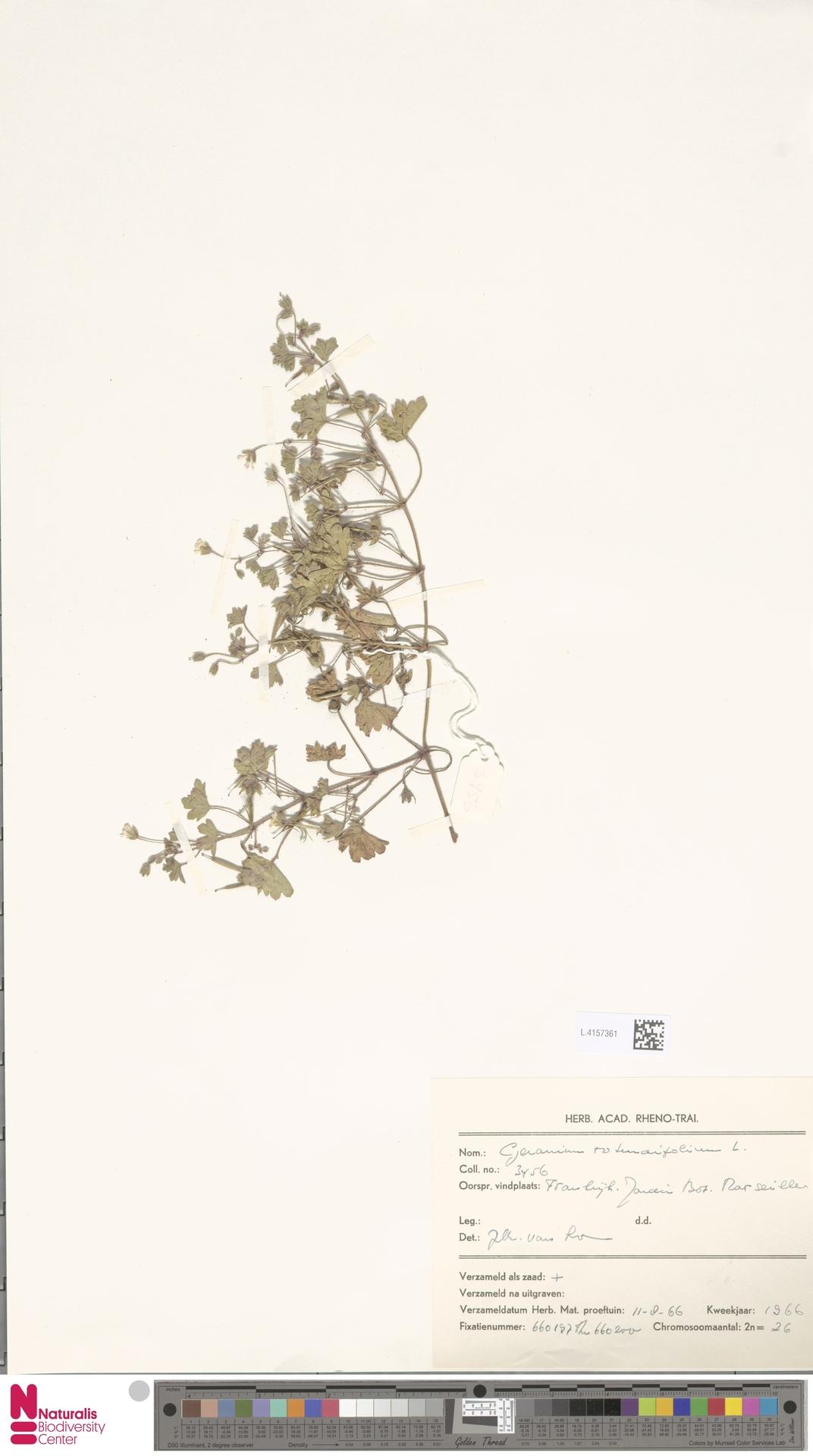 L.4157361 | Geranium rotundifolium L.