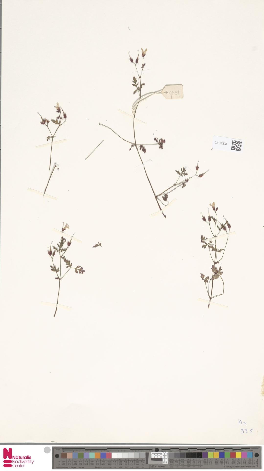 L.4157398 | Erodium cicutarium (L.) L'Hér.