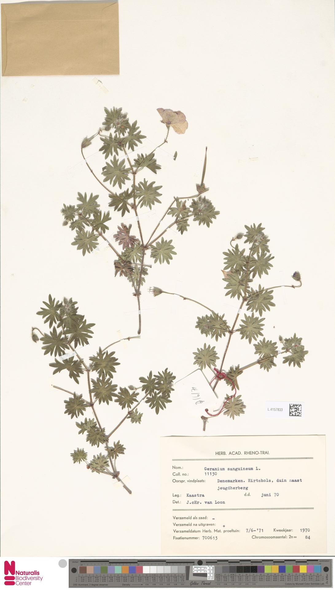 L.4157833   Geranium sanguineum L.