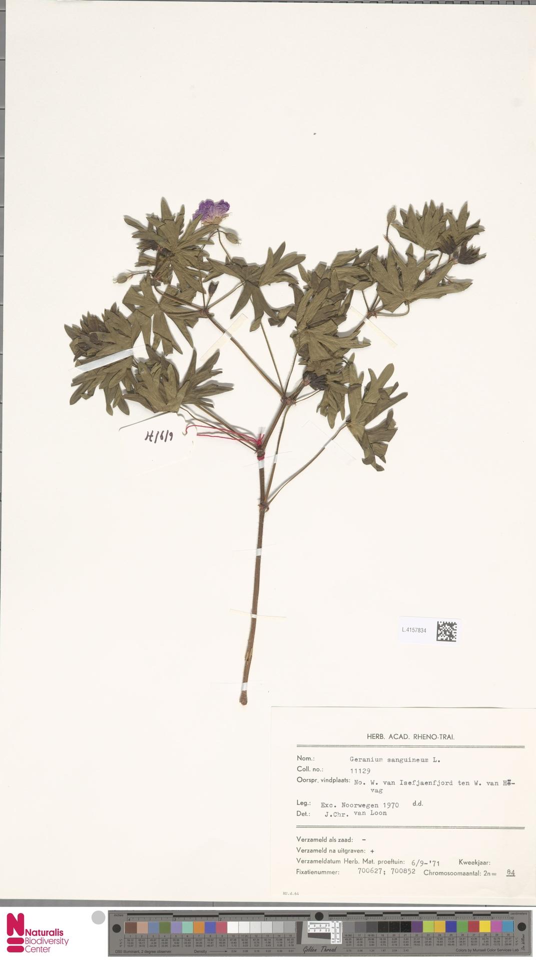 L.4157834 | Geranium sanguineum L.