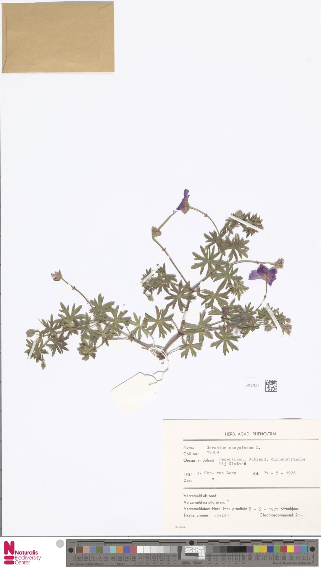 L.4157841   Geranium sanguineum L.