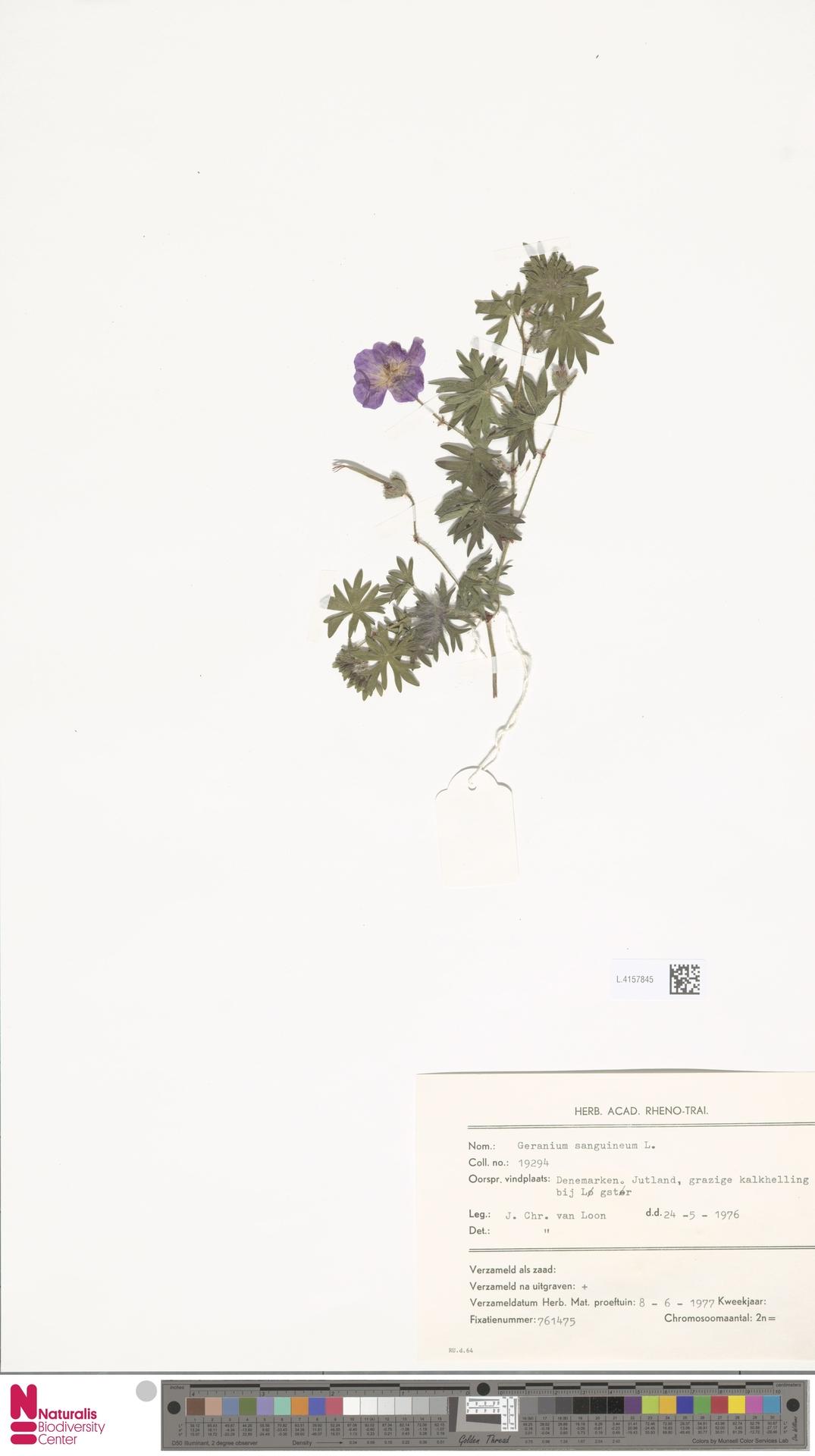 L.4157845 | Geranium sanguineum L.