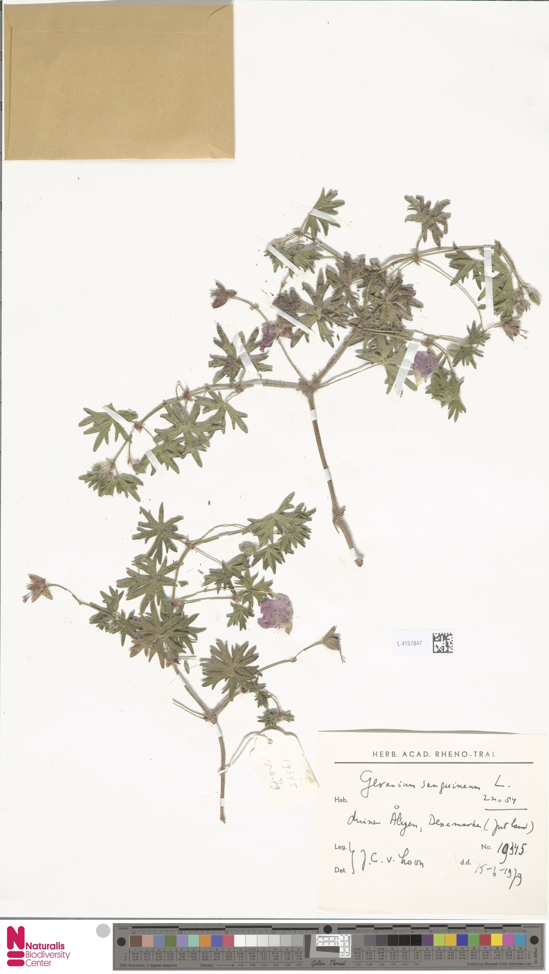 L.4157847 | Geranium sanguineum L.