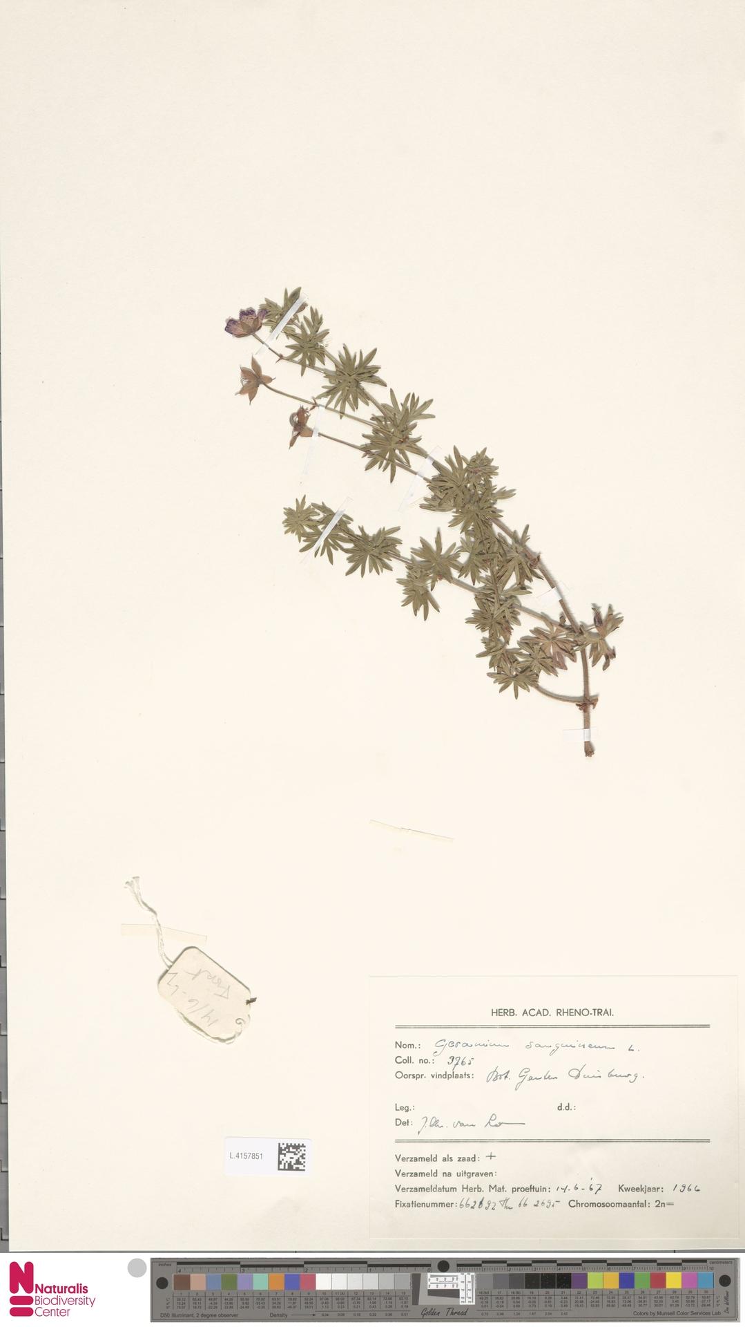 L.4157851 | Geranium sanguineum L.