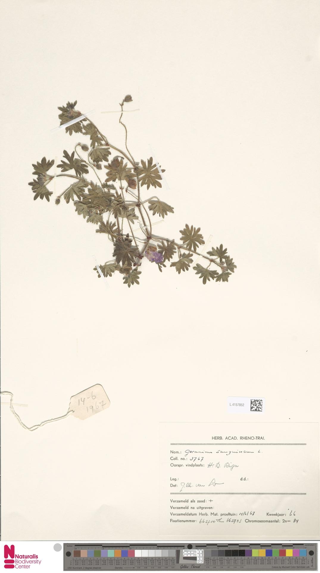 L.4157852 | Geranium sanguineum L.