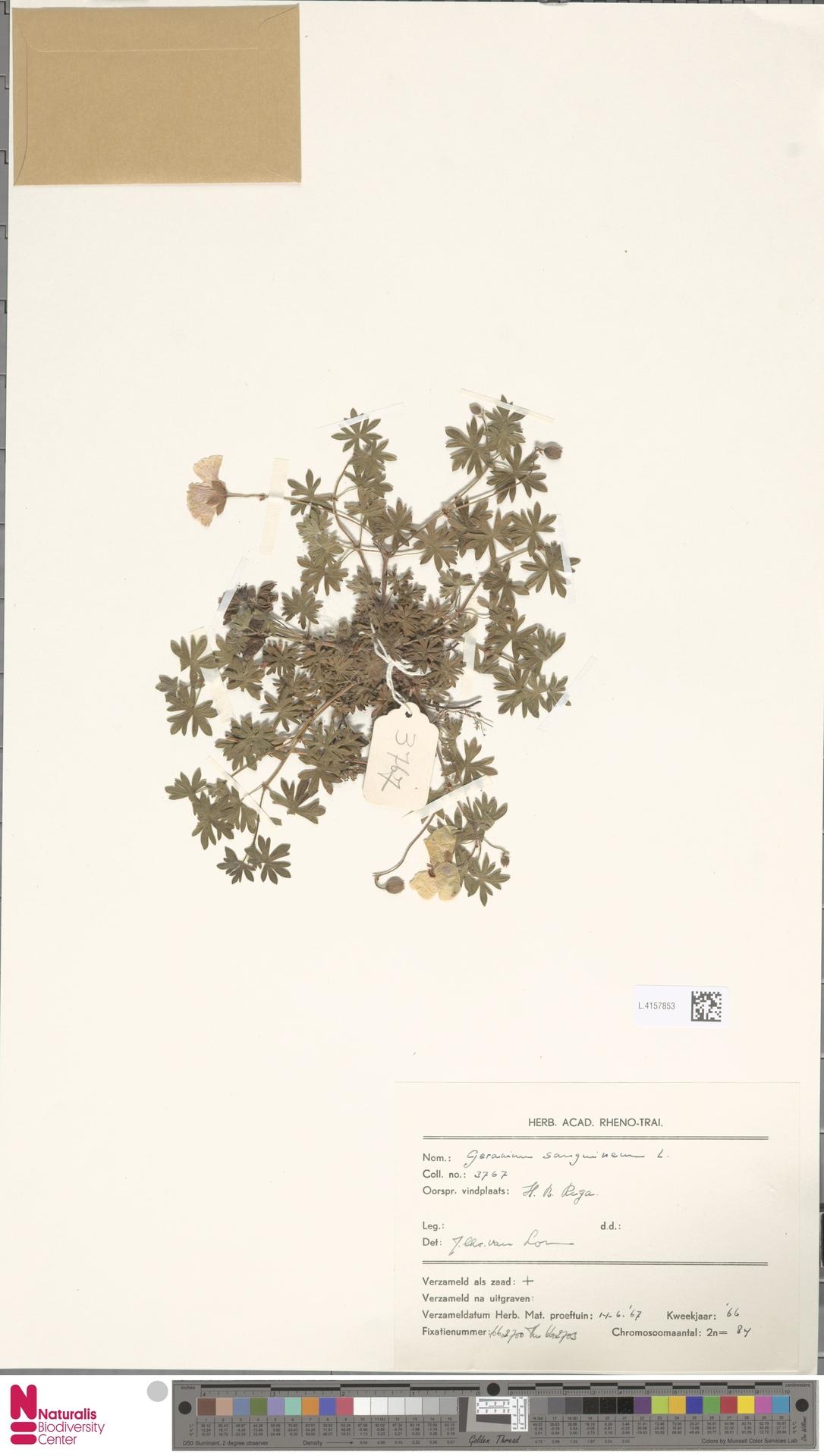 L.4157853 | Geranium sanguineum L.