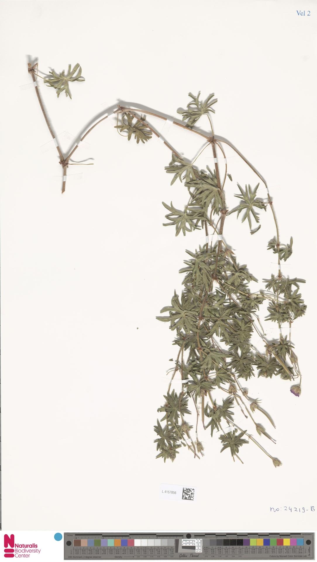 L.4157856 | Geranium sanguineum L.