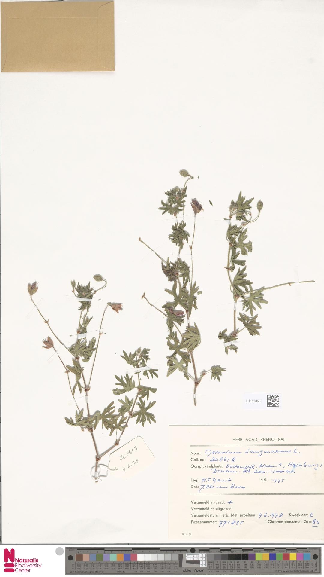 L.4157858   Geranium sanguineum L.