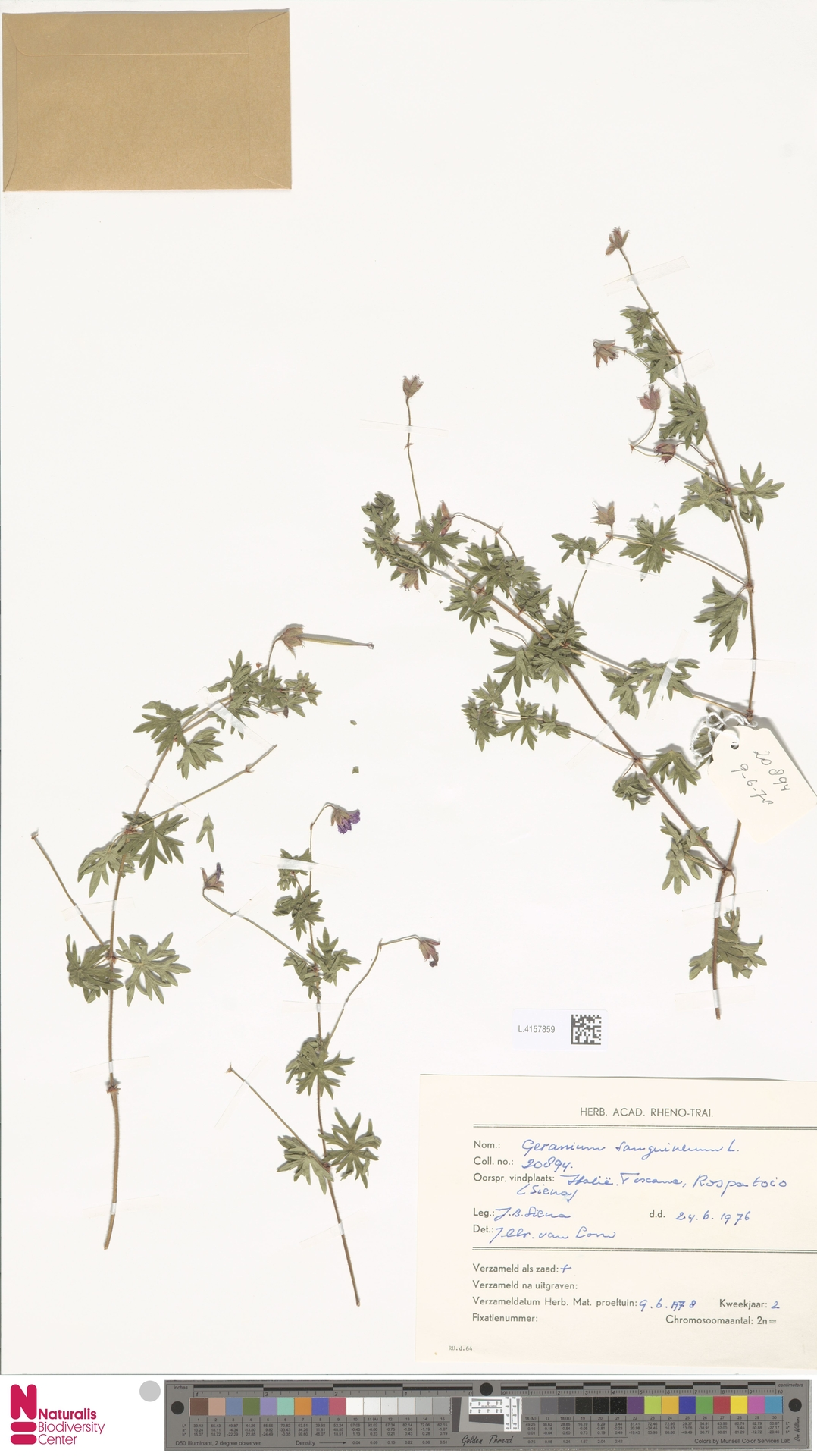 L.4157859 | Geranium sanguineum L.
