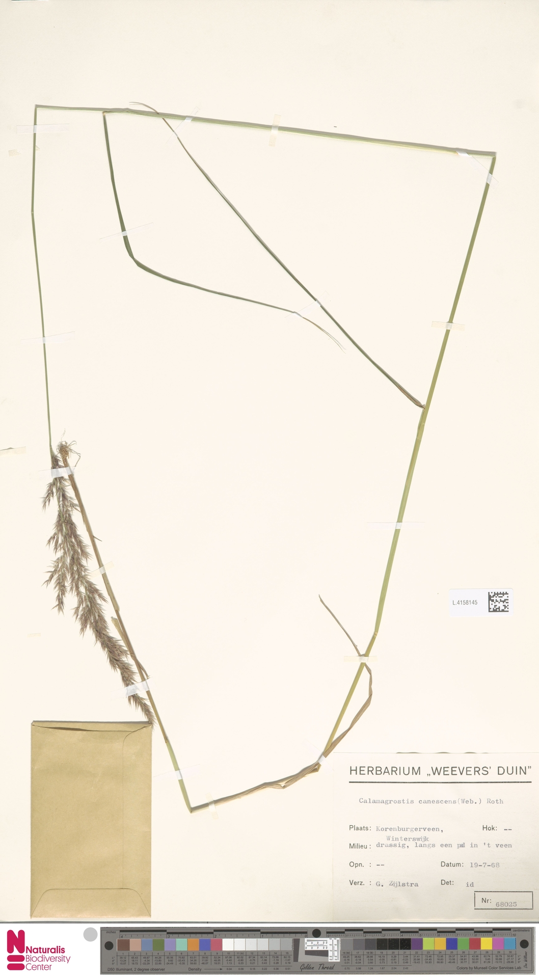 L.4158145 | Calamagrostis canescens (Weber) Roth