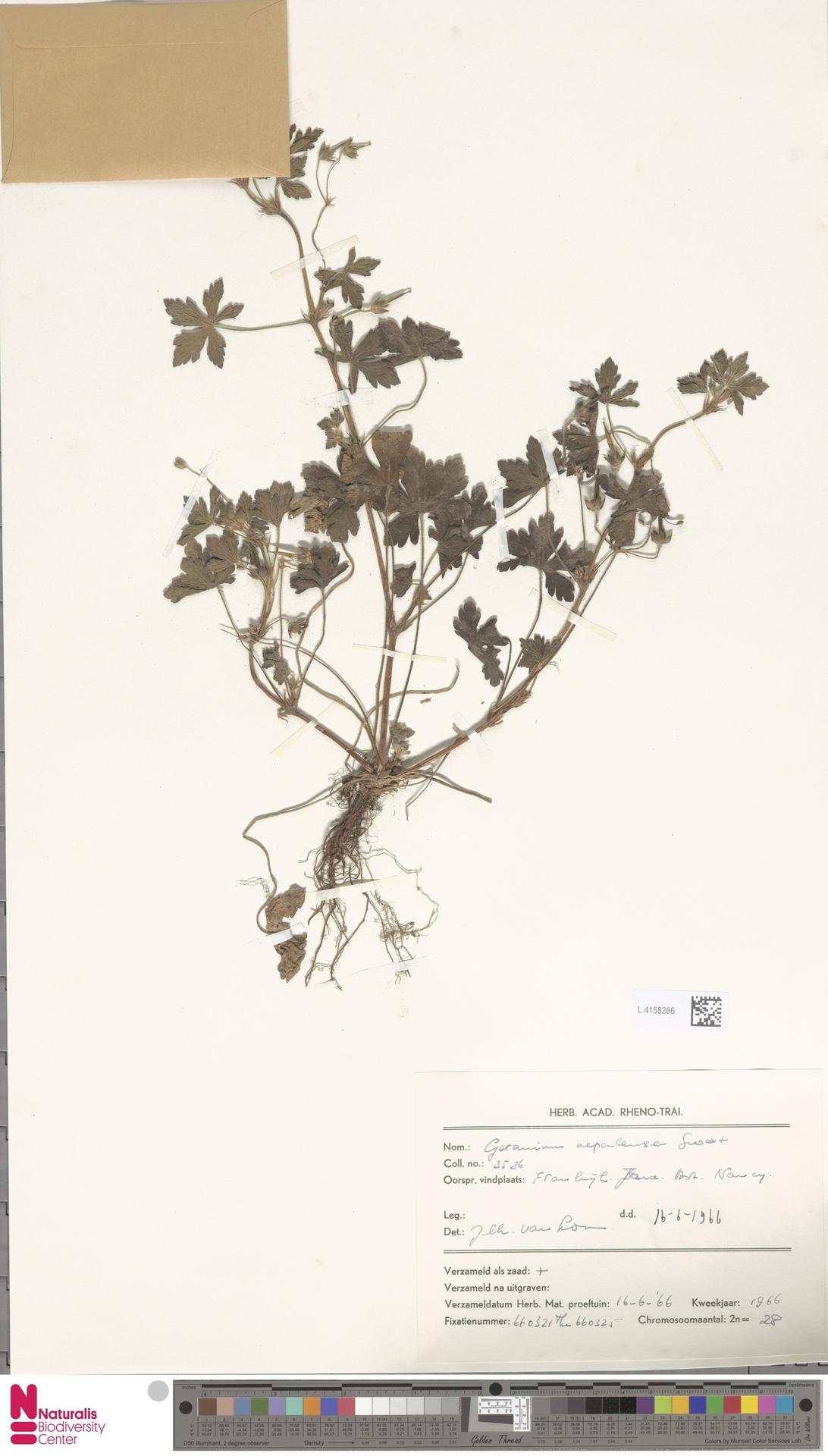 L.4158266   Geranium nepalense Sweet