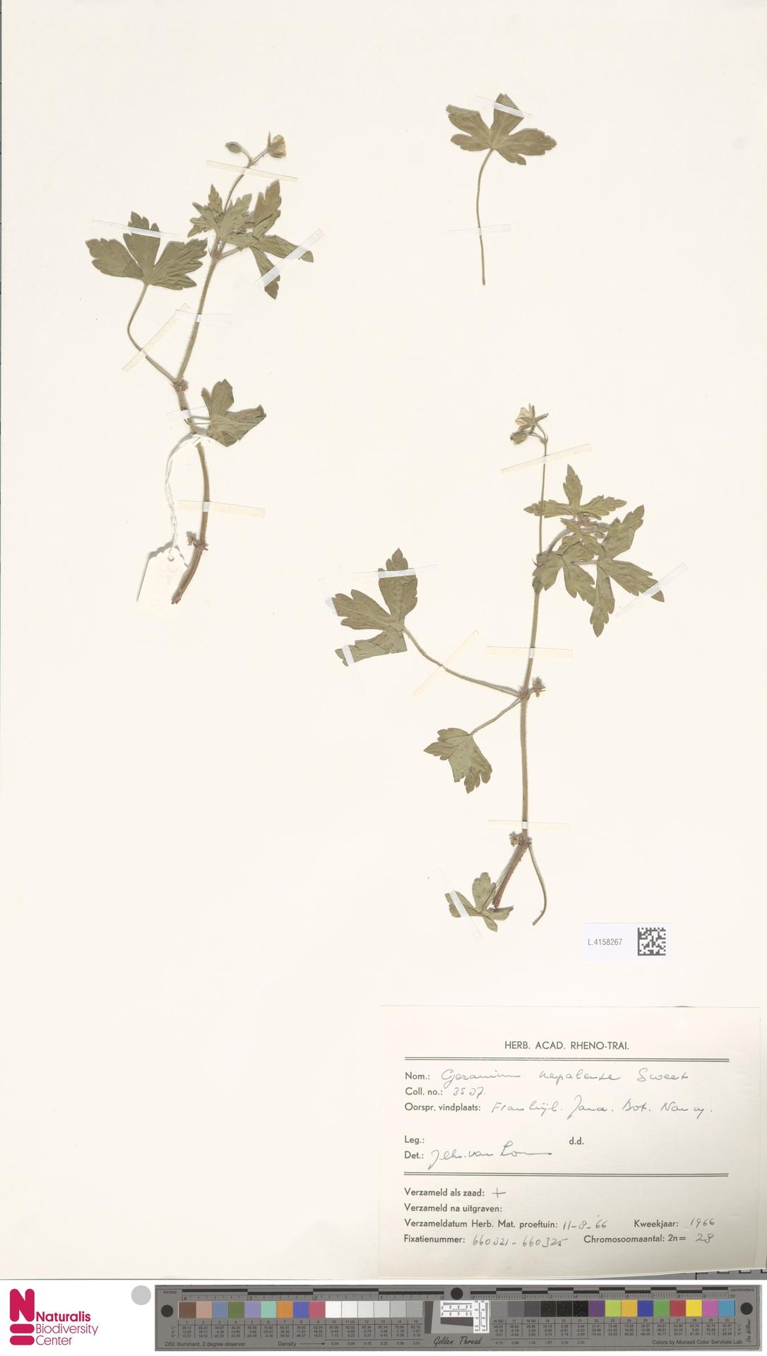 L.4158267 | Geranium nepalense Sweet