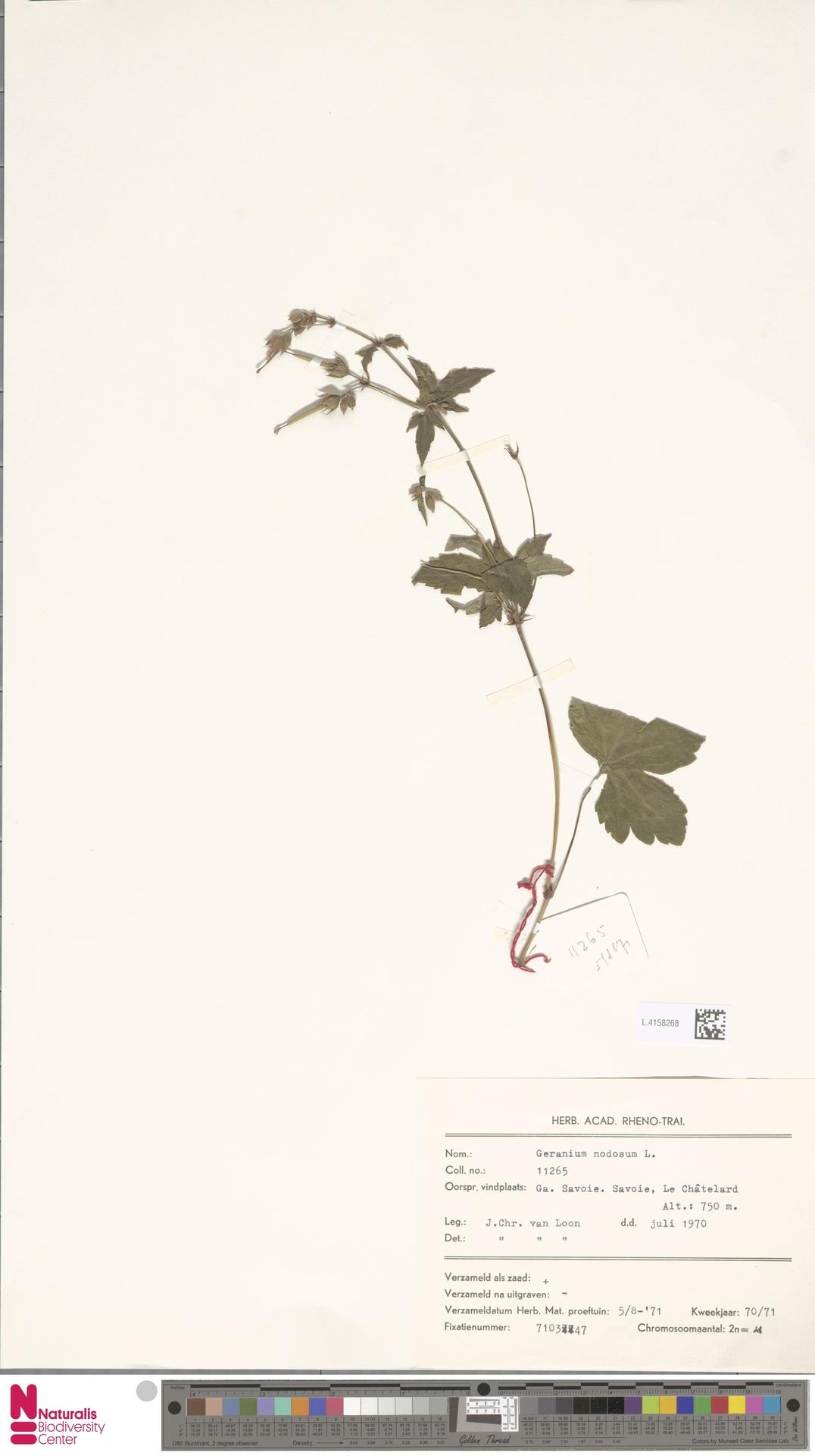 L.4158268 | Geranium nodosum L.