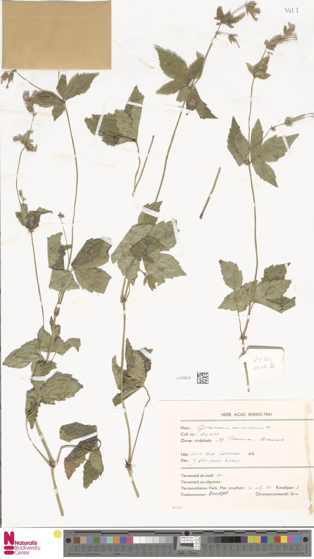 L.4158270 | Geranium nodosum L.