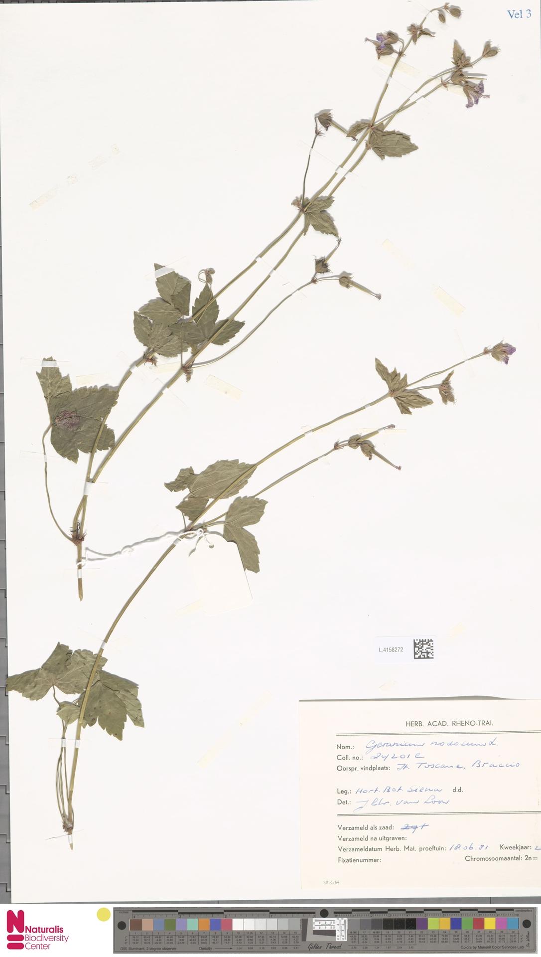 L.4158272 | Geranium nodosum L.
