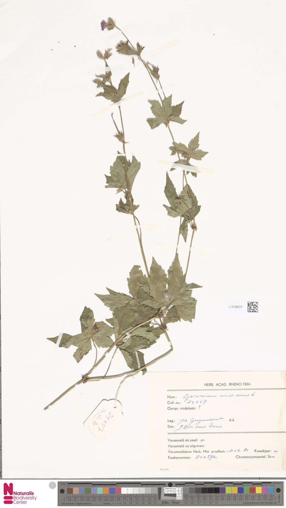 L.4158274 | Geranium nodosum L.