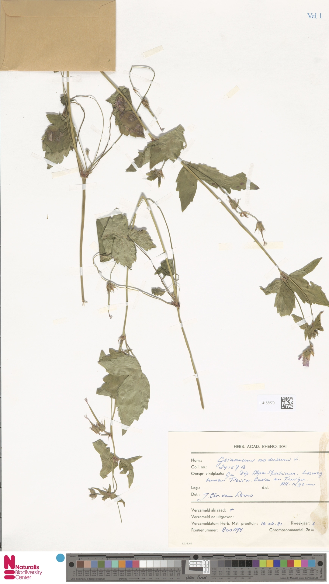 L.4158279   Geranium nodosum L.