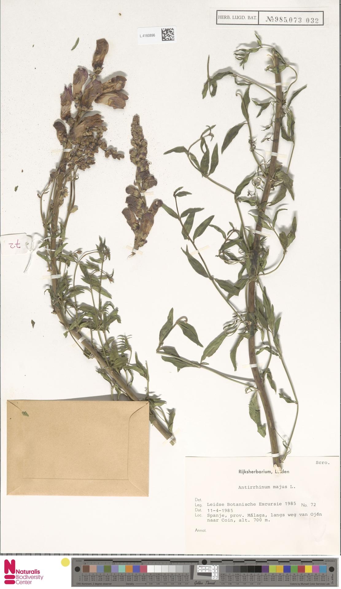 L.4160896 | Antirrhinum majus L.