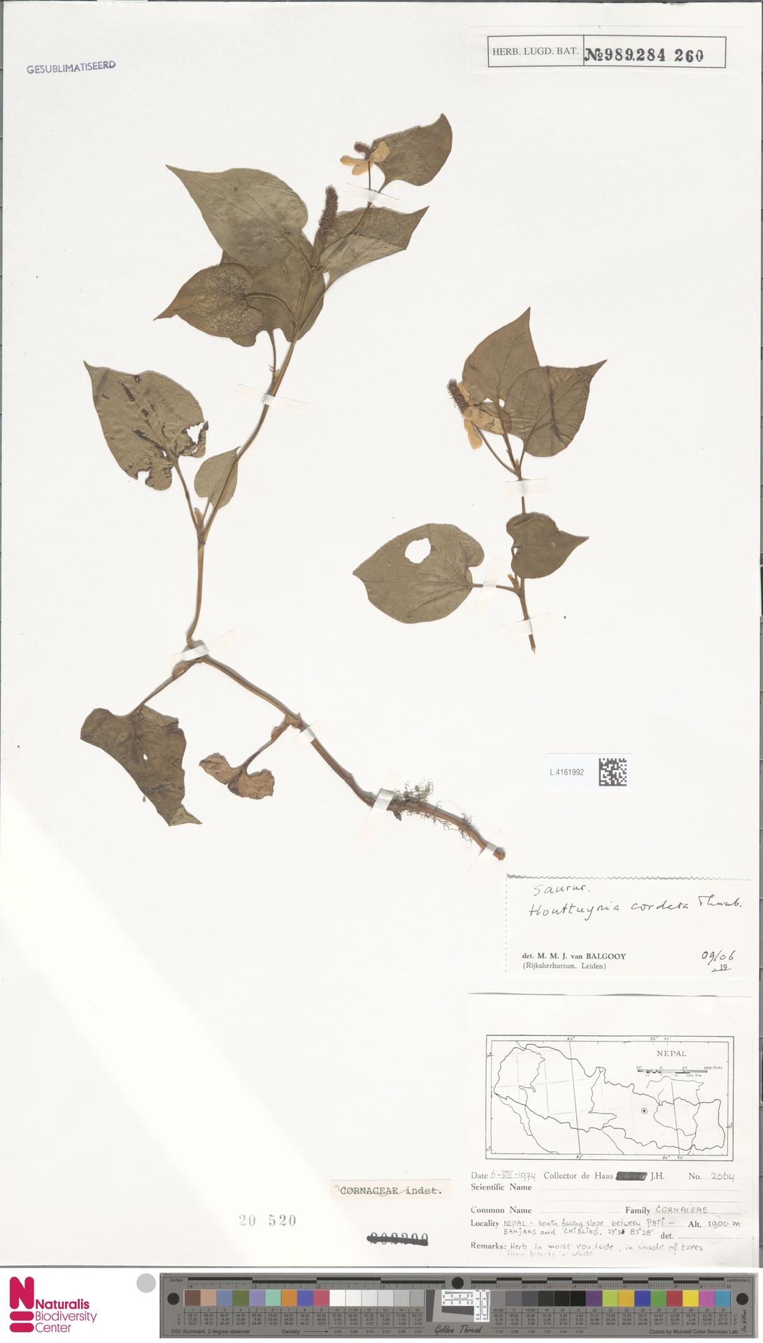 L.4161992 | Houttuynia cordata Thunb.