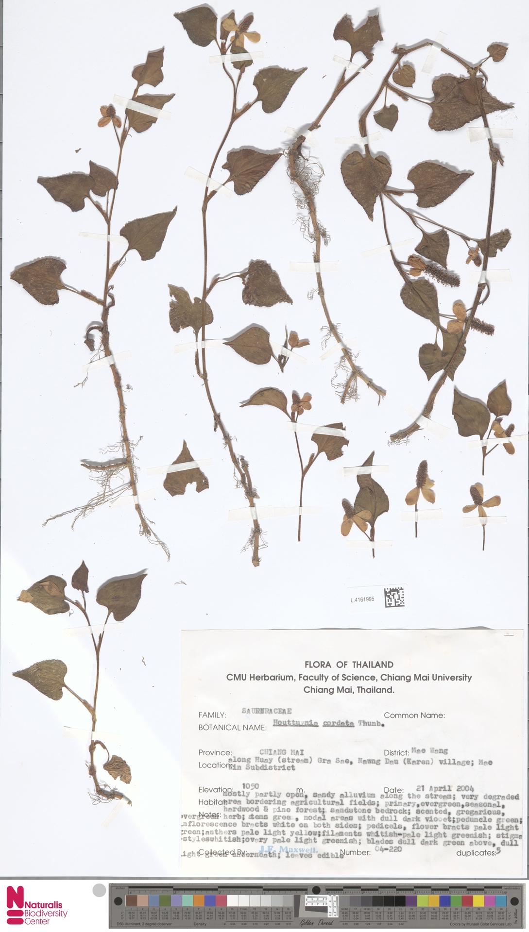 L.4161995   Houttuynia cordata Thunb.
